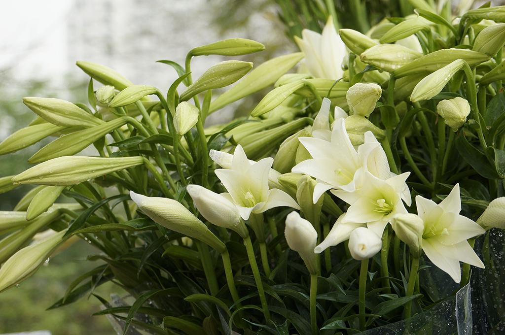 Kết quả hình ảnh cho Hoa loa kèn
